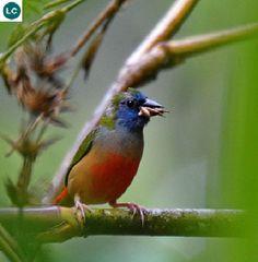 https://www.facebook.com/WonderBirds-171150349611448/ Sẻ vẹt đuôi nhọn; Họ chim Di-Estrildidae; Đông Nam Á    Pin-tailed parrotfinch (Erythrura prasina) IUCN Red List of Threatened Species 3.1 : Least Concern (LC)(Loài ít quan tâm)