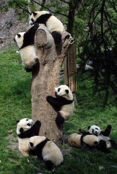 Pandas...