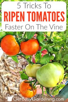 Why aren't my tomatoes turning red on the vine? That's a common question. Learn why they stay green, and how to ripen tomatoes faster using 5 easy tricks! How To Ripen Tomatoes, Ripen Green Tomatoes, Growing Tomatoes, Growing Vegetables, When To Pick Tomatoes, Starting A Garden, Seed Starting, Gardening For Beginners, Gardening Tips