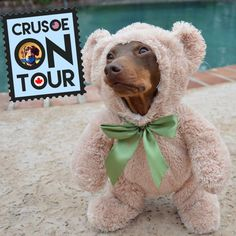 Crusoe the Celebrity Dachshund] is going on Tour and coming to the US!