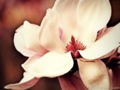 Magnolia Blossom by OR Photography Plant Identification, Spring Blossom, My Spring, Sugar Flowers, Tattoo Inspiration, Beautiful Flowers, Artsy, Bloom, My Favorite Things