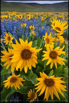 My favorite sunflowers and blue bonnets Happy Flowers, Wild Flowers, Beautiful Flowers, Sunflower Garden, Sunflower Fields, Sunflower Flower, Images Lindas, Sunflowers And Daisies, Sunflower Pictures