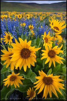https://flic.kr/p/6oi5aN | Earthbound Sun | Dalles Mountain Ranch, Washington