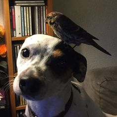 "Bíbí ended up staying overnight and was able to fly away the next day -- but Diamond hasn't forgotten him.  Sigurjónsson <a href=""https://www.thedodo.com/good-dog-saves-bird-2328401367.html"" target=""_blank"">says</a> that when he asked where Bíbí was after he left, Diamond ""ran directly to the balcony door and jumped on the arm of the sofa to look out. He knew exactly what I was talking about."""