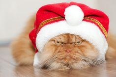 """Clearly I'm not happy I have this stupid Santa Hat on!""  Meet Garfi, The World's Angriest Cat"