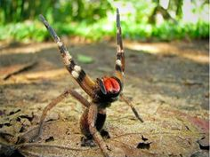 Brazilian Wandering Spider. Don't mess with it.