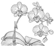 28. Bobbi Angell – Phaleonopsis OrchidVery graphic illustration of an orchid by another professional Botanical illustrator.  - This artist is the professional Botanical illustrator, so her work is amazingly realistic and beautiful, mixing the best of nature and art together.