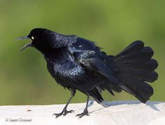 the roar of the grackle