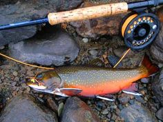 Brookie and Fly-Rod***** http://www.moosecountryguide.com/BrookTrout.jpg