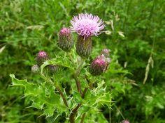 ostrożeń polny Herbalism, Flora, Food And Drink, Hair Beauty, Healthy Recipes, Healthy Food, Herbs, Garden, Plants