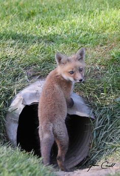 Red Fox Cub | Natural Element Photography - James F Cowell