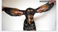 Dog breaks Guinness World Record for longest ears Guinness Book, Guinness World, American Dog, Record Holder, State Of Oregon, Veterinary Technician, Doberman Pinscher, Dog Show, World Records