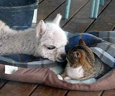 This alpaca was bottle raised with kittens. As you can see, this had a big effect on her...