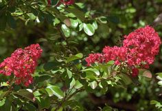 Lagerstroemia indica 'Red imperator' - A highly ornamental shrub, ideal as a wall shrub with attractive green foliage, bronze when young, producing an abundance of large panicles of red flowers in summer. Lagerstroemia, Shrubs For Sale, Pots, Plant Nursery, Plant Sale, Trees And Shrubs, Red Flowers, Backyard, Fruit