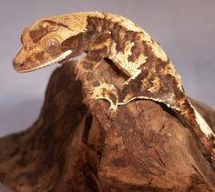 Moonrise crested gecko-juvenile male