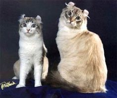 Greytabbys cat and kitten collection.-american-curl-cat-facts-2.jpg - #americancurl #catbreeds #typesofcats - Different type of cats Catsincare.com