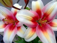 I love these!   The lilies that are bi coloured, tri coloured, multi coloured always catch my eye first.