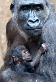 A mãe gorila Kumili segura de bebê no colo no zoológico de Leipzig (Alemanha); o bebê gorila nasceu na noite do dia 11 de março. Foto: Peter Endig/AFP