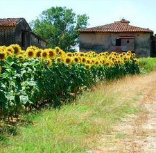 sunflowers make a pretty privacy fence, are good for the birds and wonderful for people and critters winter snacks