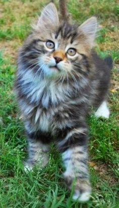 This Maine Coon is a real cutie don't you think?