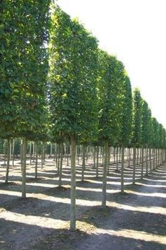 Fascinating Evergreen Pleached Trees for Outdoor Landscaping 36 Privacy Trees, Garden Privacy, Backyard Privacy, Garden Fencing, Hedges For Privacy, Privacy Fences, Garden Hedges, Garden Trees, Hornbeam Hedge