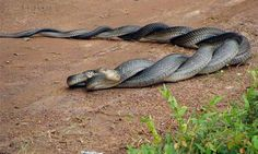 Mating serpents entwined...