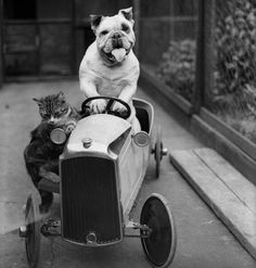 A cat and a bulldog in a toy car, 1933.   ...........click here to find out more  http://googydog.com