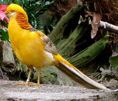 Madame Yellow Golden Pheasant