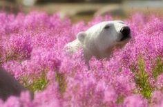デニス・ファーストによる作品。カナダの写真家。野生動物や自然の風景を撮影し続けています。ハドソン湾の近くマニトバ州にてピンクの花の中でたわむれるホッキョクグマを捉えました。