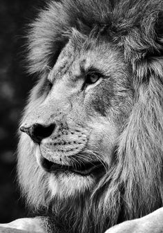Black and white side view portrait of a powerful male lion face.