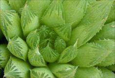 Haworthia cooperi var. cooperi | Another Haworthia | David Midgley ...
