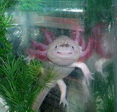 #Axolotl #Salamander - Their faces are just too cute!