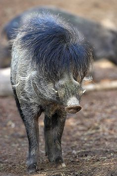 This pig species is known for its unforgettable black mane and flamboyant mop of black hair on its head. Interesting Animals, Unusual Animals, Rare Animals, Animals Beautiful, Animals And Pets, Funny Animals, Odd Animals, Strange Animals, Extinct Animals