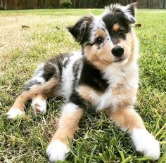 Australian Shepherd Puppies: Pictures And Facts After some selective crossbreeding with English imports like the Border Collie, the Australian Shepherd breed as we know it today was created. Australian Shepherd Puppies: Pictures And Facts. Super Cute Puppies, Cute Baby Dogs, Cute Little Puppies, Cute Dogs And Puppies, Doggies, Puppies Puppies, Labradoodle Puppies, Teacup Puppies, Adorable Dogs