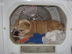 Bulldog napping .... in the dryer!!!! :)