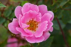 Ruusunmekko - Ruusut: Muut ruusuaarteet - 'Hurdal'