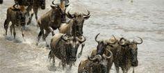 La Gran Migracion de los Ñus