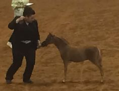 AMHA/AMHR 2016 Sorrel SHOW Colt! 2016 AMHA WORLD Champion weanling colt! Sired by Reeces Geneses, we expected this colt to be good. But I think he surpassed even our high expectations! He has a pretty head, long neck and great topline! Just wait and see what he can do for you! Offered by Mini Horse Sales