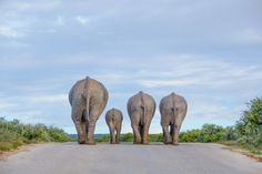 Africa Geographic - A family of African elephants ambles down the road at the end of the day in Addo Elephant National Park, South Africa - Cathy Withers-Clarke