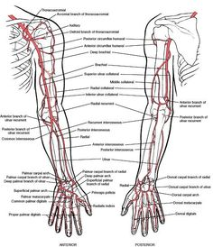 arteries of upper extremity