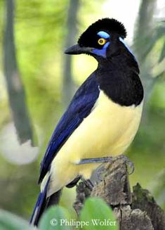 The Plushed-crested Jay frequents forest and wooded areas in N Argentina, to Paraguay and Uruguay, N and E Bolivia. This species is also found in Brazil, south of the Amazon River. (Additional photos & info attached)