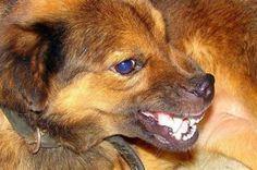 Adiestramiento canino: perros agresivos