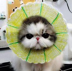 #cat #cute #persian