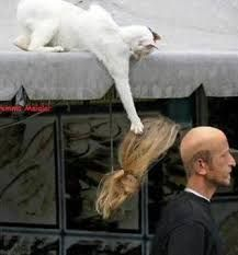Toupée: (A) a patch of false hair for covering a bald spot; (B) an incredibly attractive catch for a cat