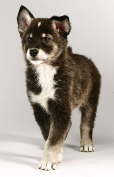 "Tamaskan Puppy - I would name it ""Flynn"" for a boy or ""Tala"" for a girl. :)"