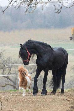 mistymorrning: (via (JPEG Image, 500 × 749 pixels)) All The Pretty Horses, Beautiful Horses, Animals Beautiful, Beautiful Things, Cute Horses, Horse Love, Mini Horses, Baby Horses, Horse Photos