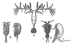 Flatycopioida (A); Calanoida (B); Misophrioida (C1 et C2)