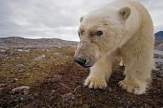 Thanks to a camera trap, a polar bear unwittingly makes a self-portrait in Svalbard. PHOTOGRAPH BY PAUL NICKLEN, NATIONAL GEOGRAPHIC