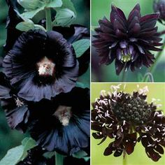 More black flowers...Left, Black Hollyhocks, Top r,  Columbine, lower rt, Scabiosa