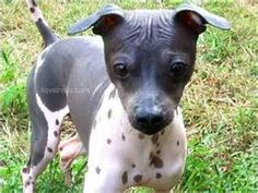 In develop, the American Hairless Terrier (AHT) is identical towards the medium-sized Rat Terrier, from which he is directly descended.